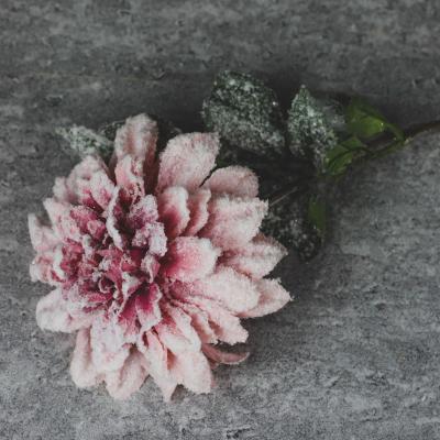 Dalia śnieżona pojedyńcza różowa